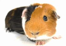 Information on guinea pigs, great info, DD used it for her 4H project