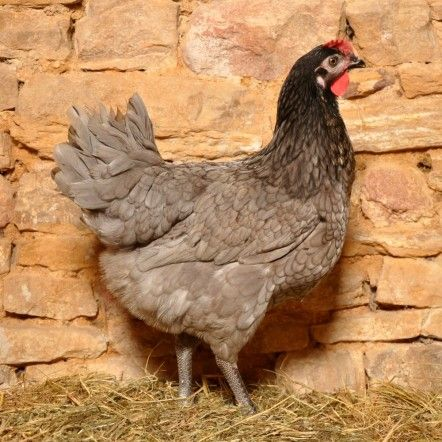 54 best images about poulettes on pinterest chicken for Top 10 des poules pondeuses