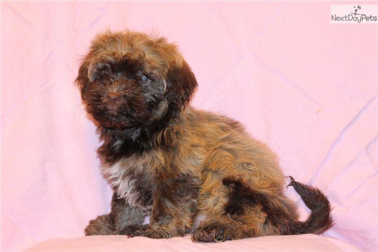 Havapoo puppy for sale near dallas fort worth texas