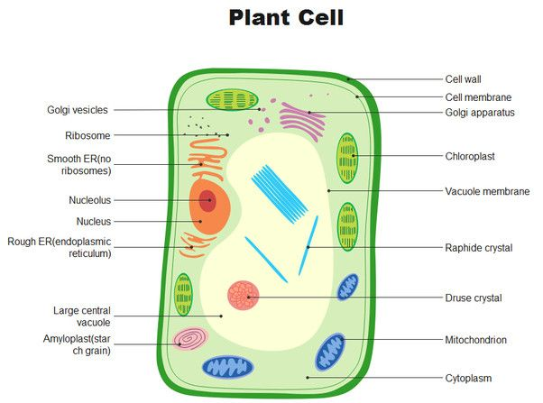 Animal and Plant Cells Diagram Beautiful How to Draw A ...