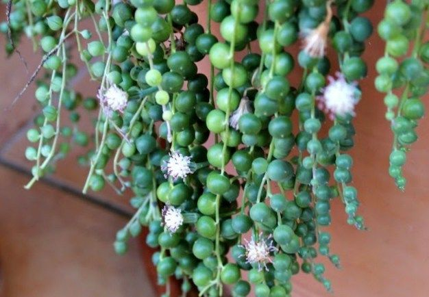 Senecio rowleyanuses el nombre científico del rosario, planta rosario o bolitas como es conocida popularmente esta curiosa suculenta. Lleva el nombre de Gordon Douglas Rowley, un botánico británic…