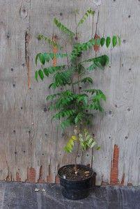 Tähtihedelmä - Averrhoa carambola  Trooppiset hyötykasvit huonekasveina - kasvit ovat kaupasta ostettujen hedelmien siemenestä kasvatettuja.