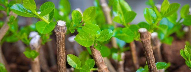 Pour épater les copains, pour multiplier sa plante préférée ou encore pour troquer à tout va et à moindre coût… Quelle que soit la motivation, faire ses propres boutures demande juste un peu de rigueur, c'est tout !