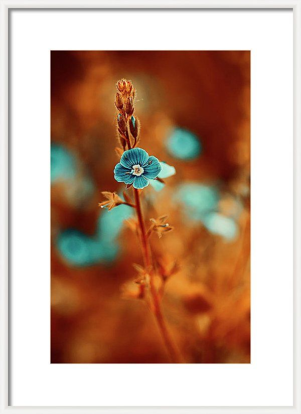 Framed Print featuring the photograph Small Blue Forget-me-not On Orange by Oksana Ariskina. Small blue wildflower forget-me-not, closeup view on orange brown toned background. Available as mugs, posters, greeting cards, phone cases, throw pillows, framed fine art prints, metal, acrylic or canvas prints, shower curtains, duvet covers with my fine art photography online: www.oksana-ariskina.pixels.com #OksanaAriskina