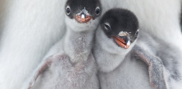 Cuddling Penguins