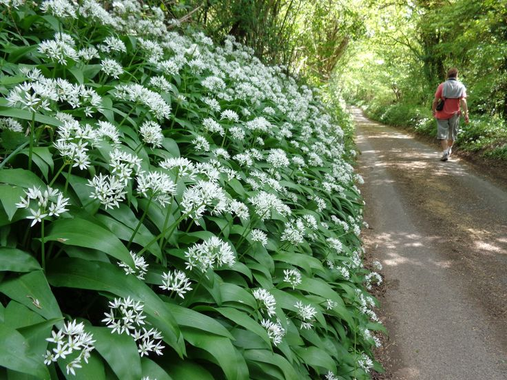 Bluebells in April and Wild Garlic in May on the '2 Valleys Walk'