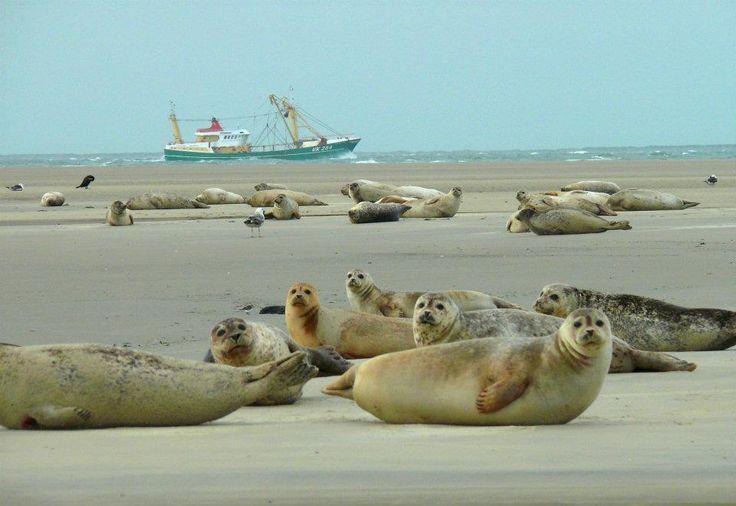 Borkum (Niedersachsen) - Robben am Strand #Frühlingsreise