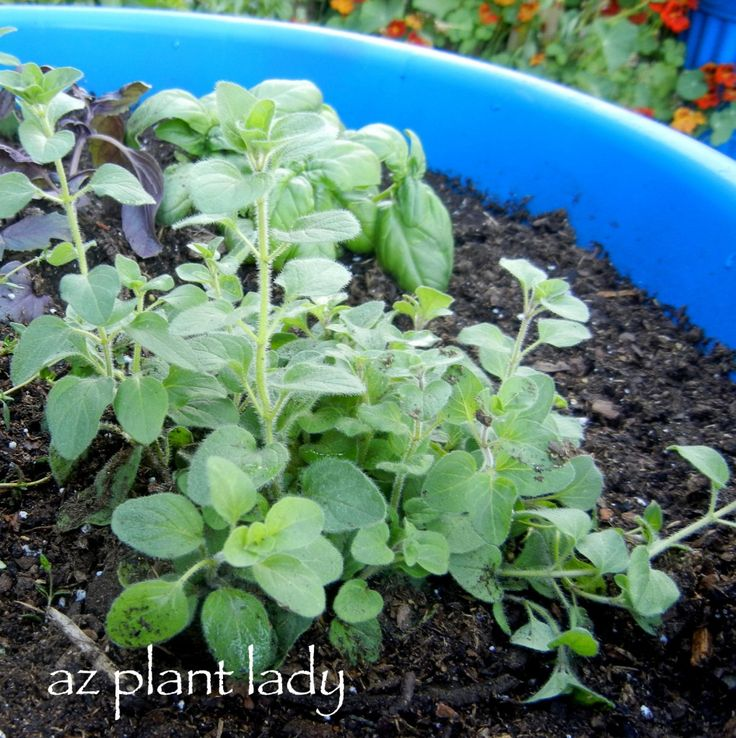 Click through to get tips for growing herbs in containers from our blogger Noelle.