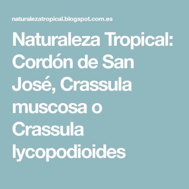 Naturaleza Tropical: Cordón de San José, Crassula muscosa o Crassula lycopodioides
