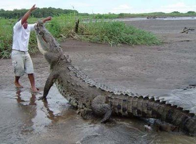 big crocodiles pictures | With the recent restoration of salt water crocodile habitat and ...