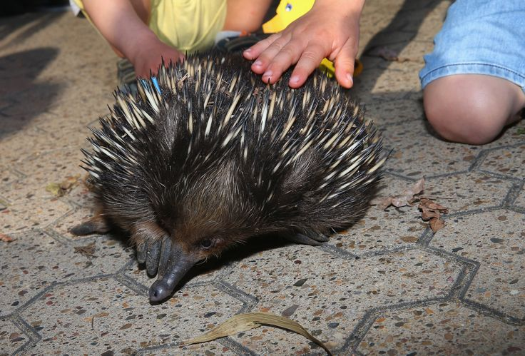 Children pat an echidna during birthday celebrations at Taronga Zoo on October 7, 2016 in Sydney, Australia. Today marks exactly 100 years since the Zoo first opened its gates in Mosman on 7 October, 1916. (Photo by Don Arnold/WireImage)  via @AOL_Lifestyle Read more: https://www.aol.com/article/news/2017/02/03/world-s-smallest-fox-born-at-taronga-zoo-is-all-ears/21706743/?a_dgi=aolshare_pinterest#fullscreen