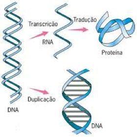 4- O DNA é a molécula da hereditariedade por apresentar duas propriedades: Transcrição e replicação. A transcrição é uma etapa da síntese proteica e, a partir dela, o DNA comanda o metabolismo celular através de enzimas e outras proteínas.  A replicação permite que as informações para a síntese proteica sejam transmitidas para as células filhas, sendo por isso uma etapa anterior à divisão celular.