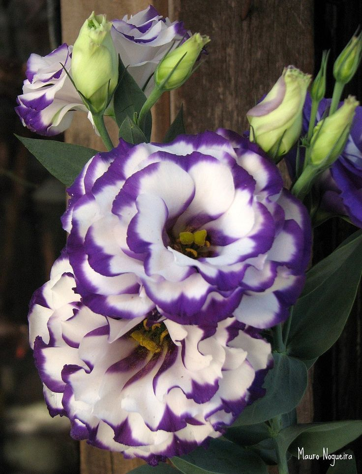 ~~Purple and White Lisianthus by :: Mauro ::~~
