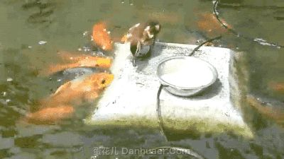 The duck is feeding the fish! Could teach the Republicans about Compassion!