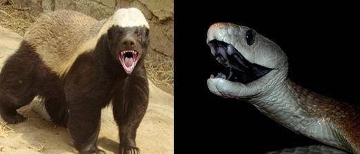 Honey badger vs Snake