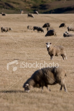 A sheep outstanding in its field