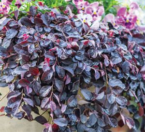 6f734fa585ec7d8fead0fd304269ea72--purple-pixie-plant-containers Variegated Clusia House Plant on variegated canna, variegated clematis, variegated carex,