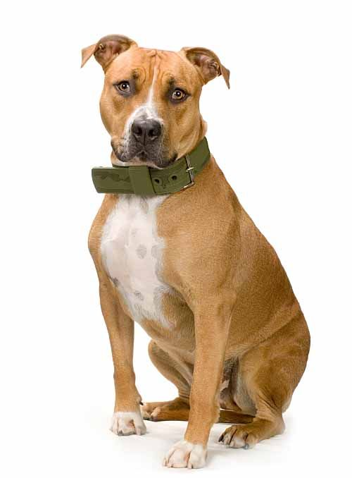 female pit bull names unique ideas for your girl pitbull bully