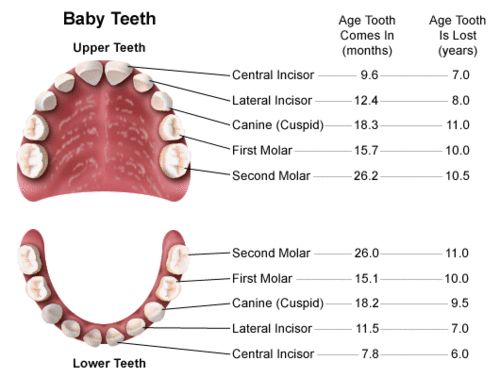 Tooth chart for all the moms who wonder