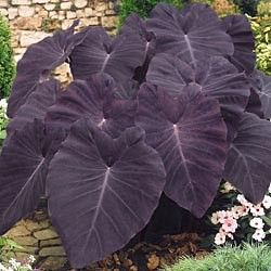 """Some giant """"Black Magic"""" elephant ears with the woodland plants in front."""