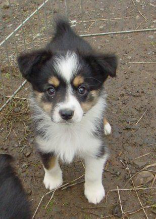 Toy Australian Shepherd - Looks like a lil mini Duke!