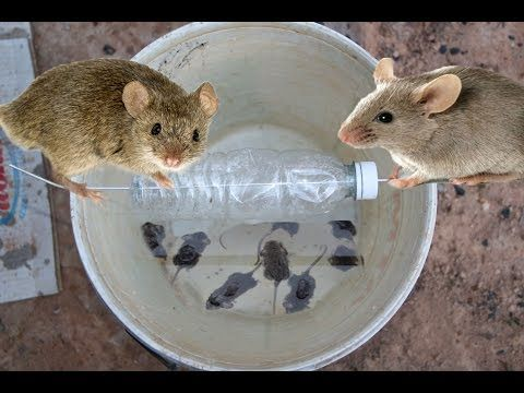 DIY Preppers and Homesteaders Mouse Trap (Rolling Log) - YouTube
