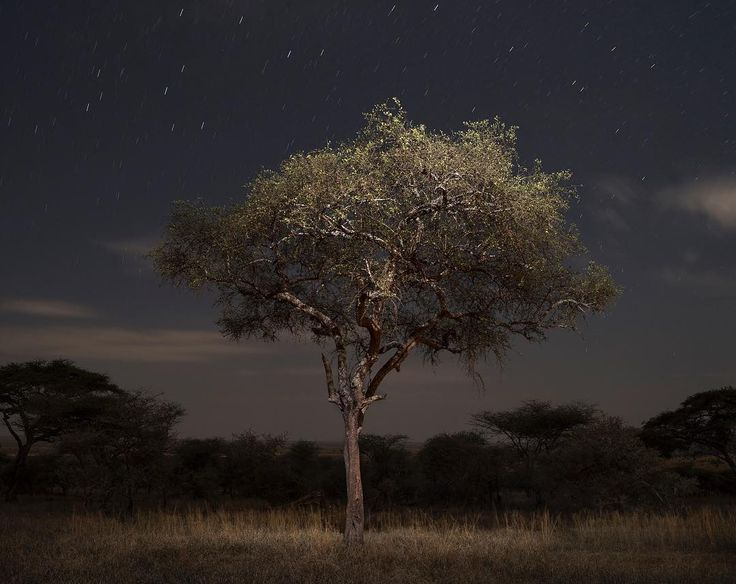 Photo by @gabrielegalimbertiphoto /// Night scene from Serengeti Nation Park, Tanzania. The Serengeti National Park is a protected area that covers thousands of square kilometers and it is the habitat of several species of acacia trees. #serengeti #tanzania #africa #tree #moonlight #night #nationalpark #noom #stars