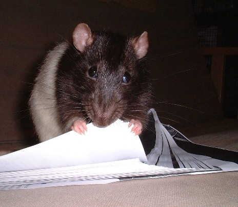 Image result for rat chewing on a paper