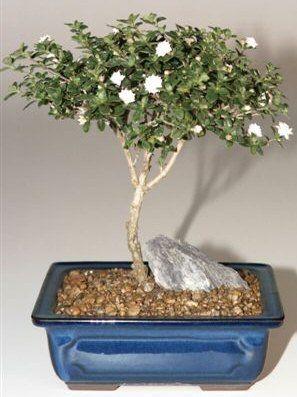 Snow Rose Serissa Bonsai Tree – Medium (serissa foetida)