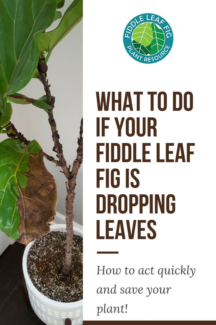 If Your Fiddle Leaf Fig Is Dropping Leaves Act Now To Address The Problem And Save Your Plant First Fiddle Leaf Fig Care Fiddle Leaf Fig Fiddle Leaf Fig Tree