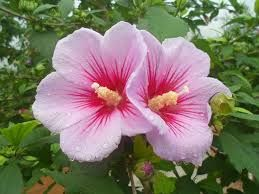 Korea's national flower 무궁화
