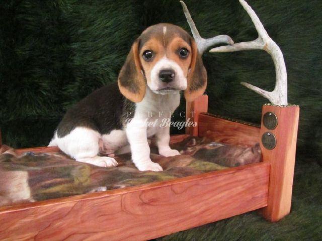 Olde English Pocket Beagle Puppy Www Perfectpocketbeagles Com