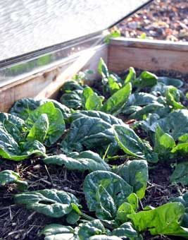 How to grow spinach in winter.....