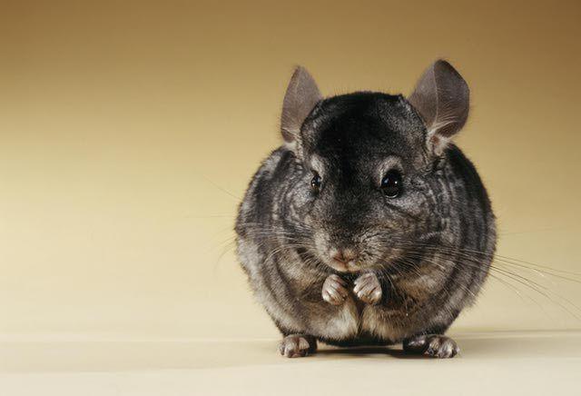 Chinchillas Pet Profile and Facts