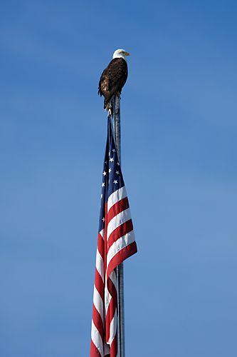 Eagle on Flagpole-Sitka Sound,Alaska
