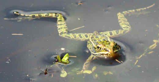 Frog Facts - Characteristics