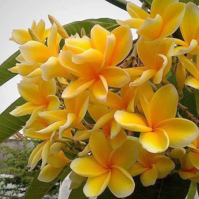 Bunga Kamboja Kuning Cendana Plumeria Flowers Yellow Picoftheday Johansurya Lifeisbeautiful Semara Plumeria Flowers Wonderful Flowers Amazing Flowers
