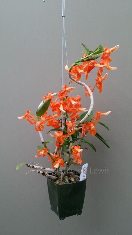 Dendrobium unicum 'Orchid Dynasty' (Vietnam, Laos, Thailand,...//clinton lewis
