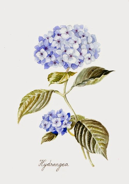 Hortensia (Hydrangea) illustration, watercolor by: Los pájaros de Verónica Algaba