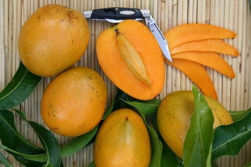 Ripening of Mango Export Found Mango is 1 of the most essential tropical fruit crops of Asia with a high demand in the world marketplace. Among mango cultivars presently grown in Pakistan... See more: http://goo.gl/90fq1I  #mangoes   #exporter