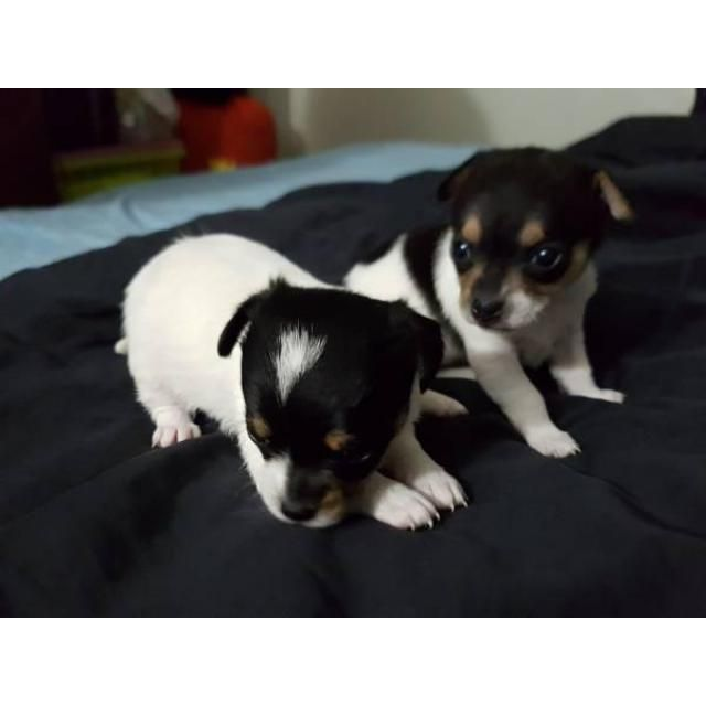 Chihuahua New York City We Have Four Chihuahua Puppies For Sale