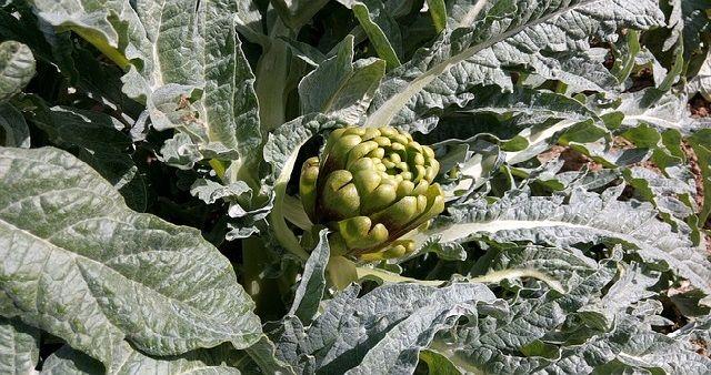 Come coltivare il Carciofo? Il Carciofo deriva dal carciofo selvatico e cresce spontaneo nelle regioni degli agrumi. Il carciofo è una pianta perenne...