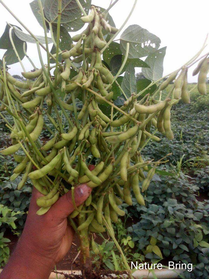 Growing Soybean Zucchini Plants Soil Improvement Growing Zucchini