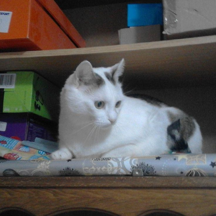 Bismund helps with cleaning the shelves by being in the way #cat #caturday #cats #cute #cutecat #kawaiicat #adorable #catsofinstagram #catsagram #cat_of_instagram #cat #kitty #whitecat #gato #neko #catowner #lazycat