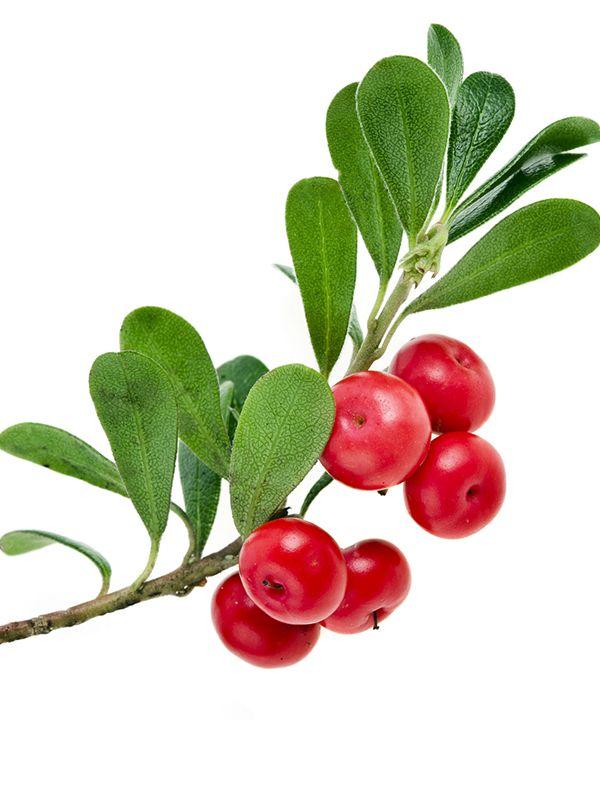 Busserole - Si ses baies rouges sont appréciées par les ours, ce sont ses feuilles qui renferment un précieux actif, l'arbutine, aux bienfaits micronutritionnels reconnus.