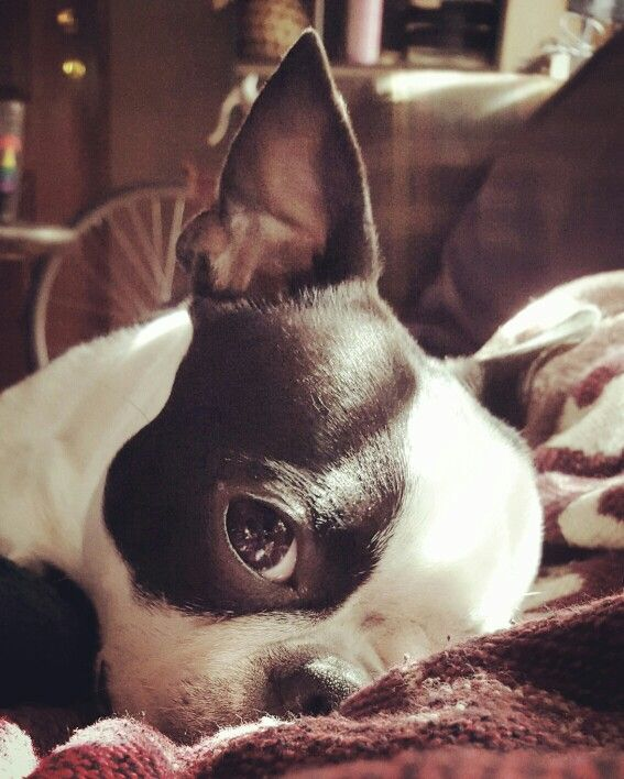 Boston terrier, My angel. ...... Stella