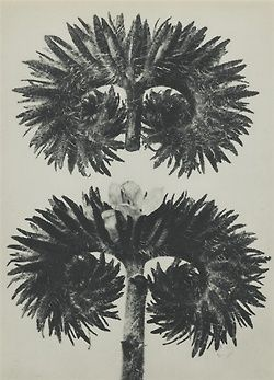 Karl Blossfeldt, Phacelia, 1929.