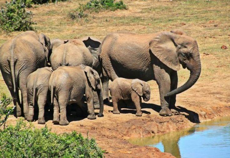 À cause du braconnage, de plus en plus d'éléphants d'Afrique viennent au monde sans leurs défenses