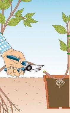 Clematis durch Ableger vermehren - Die Waldrebe (Clematis) ist die arten- und formenreichste winterharte Kletterpflanze. Und das Beste: Alle Arten und Sorten lassen sich durch Ableger sehr leicht vermehren.