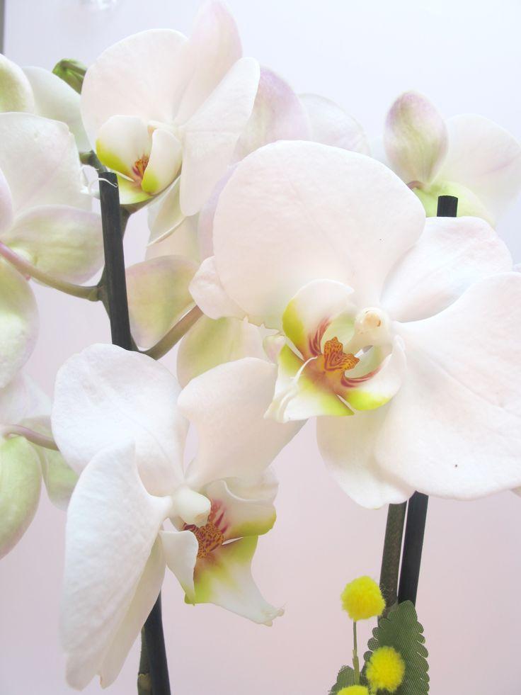 orchidea, piante